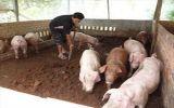 Tái cơ cấu chăn nuôi trong xu thế hội nhập TPP